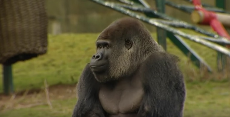 Zoo Footage Captures Gorilla Walking Upright On Two Legs