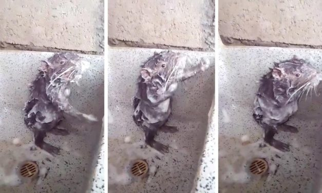 Strange Rat Washes Itself Like a Human in the Sink—Watch the Bizarre Video Here