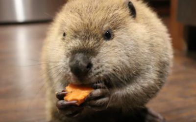 "Orphaned ""Justin Beaver"" Can't Go Live in the Wild, So He Makes Dams from His Toys"